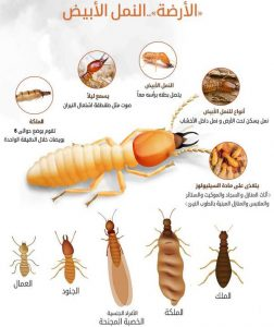 شركة مكافحة حشرات بالدمام النمل الابيض